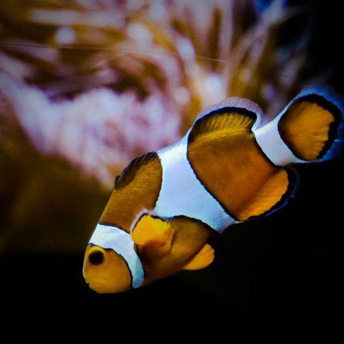 Poisson clown, Aquarium de La Rochelle - Vacances d'été à La Rochelle