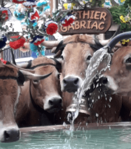 vache-transhumance